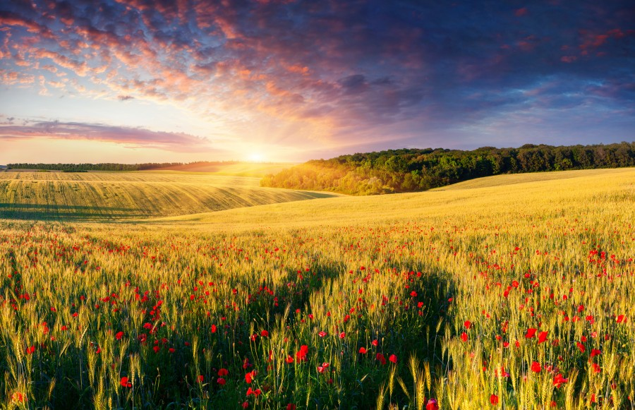 Colorful summer landscape on the meadow of wheat and poppies